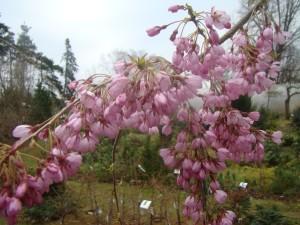 Prunus pendula Beni -Shidare  , Lepes