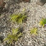 Hakonehlojas vēl mazas