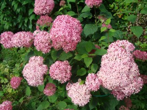 Hydrangea arborescens `Pink Annabelle`, Lepes