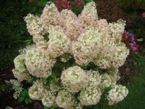 Skarainā hortenzija Bobo,Hydrangea paniculata