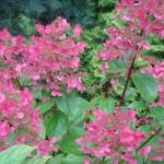 """Skarainā hortenzija """"Wims Red"""" krāsojas."""