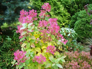Hydrangea paniculata`Wims Red`, Lepes