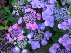 Hydrangea serrata`Cotton Candy`, Lepes