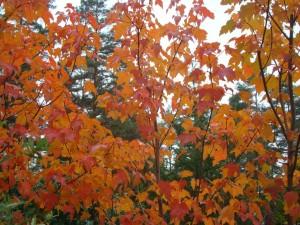 Acer rubrum Burgundy Belle, Lepes