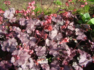 Heuchera `Milan`, Lepes