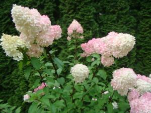 Hydrangea paniculata `Vanille Fraise`, Lepes