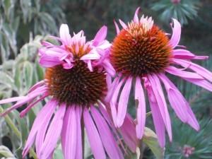 Echinacea Doppeldecker