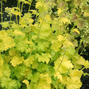Heuchera `Lime Rickey`