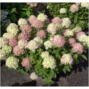 Hydrangea paniculata Little Lime, Jane