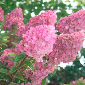 Hydrangea paniculata `Sunday Fraise`