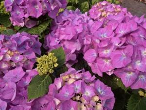 Ballhortensie 'Diva fiore' ® (Violet) - Hydrangea macrophylla 'Diva fiore' ® (Violet)