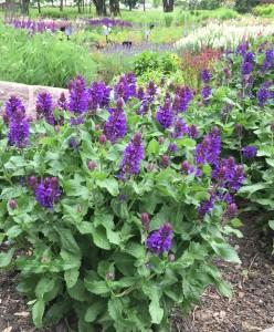 Salvia Blue Marvil
