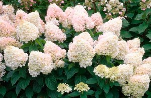 Hydrangea pan. Magical Sweet Summer