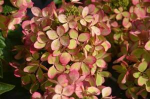 Hydrangea paniculata Pastelgreen
