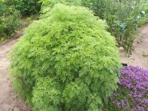 Artemisia-abrotanum--lydia-montenegro--CC-BY