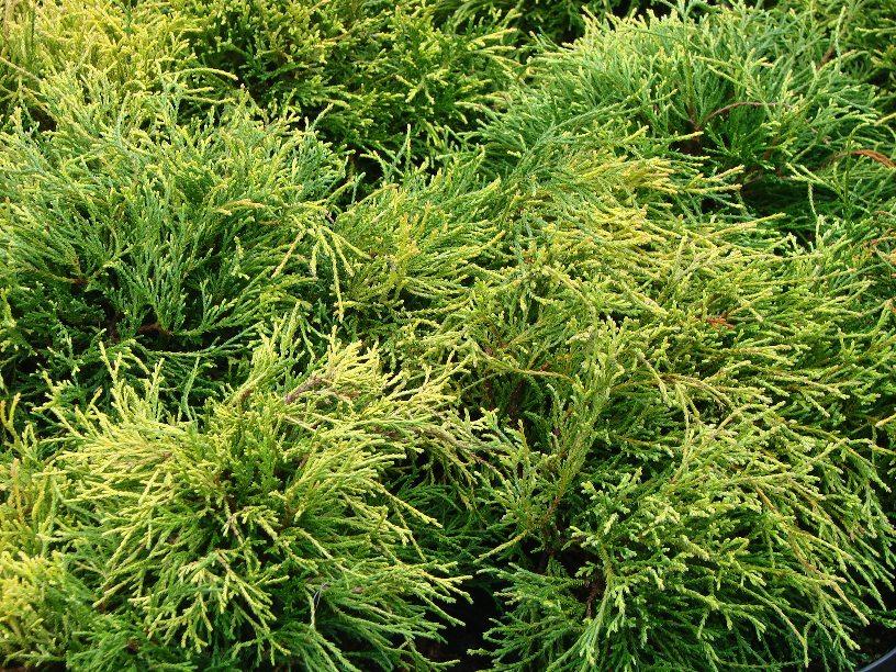 Chamaecyparis pisifera  ``Sungold``