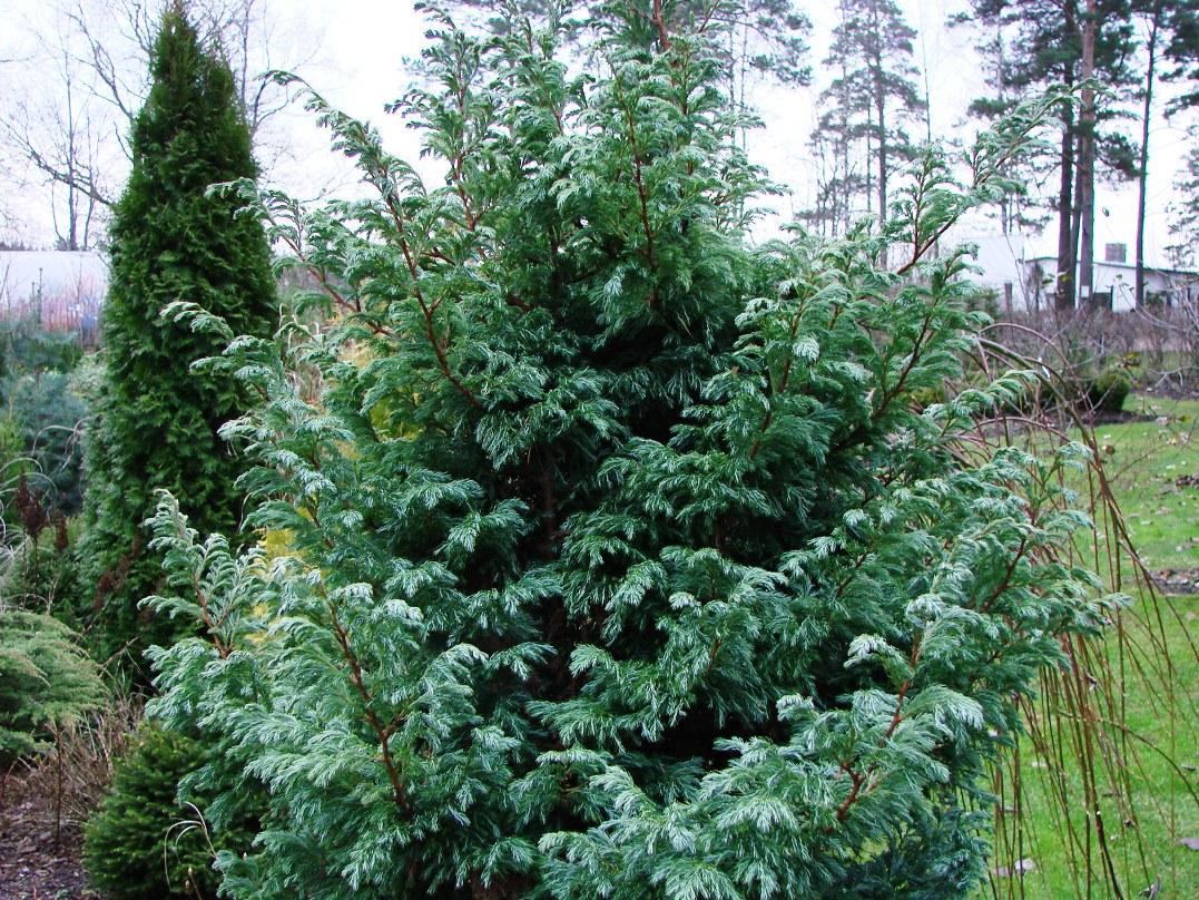 chamaecyparis-lawsoniana-minima-aurea