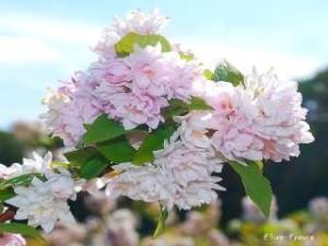 Deutzia_hyb_Pink_Pompon2