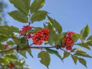 berrying-sorbus-ss-301707632