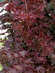 Acer platanoides ``Crimson Centry``