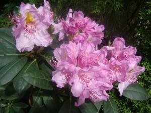 Rhododendron `Roseum Elegans`, Lepes