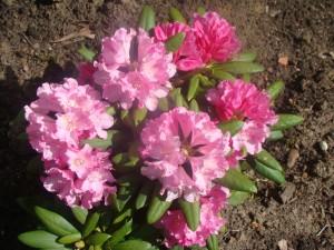 Rhododendron `Kalinka`, Lepes