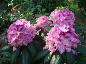 Rhododendron Krolowa Jadwiga , Lepes