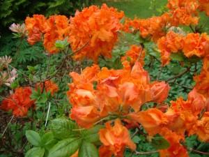 Rhododendron `Gibraltar`, Lepes