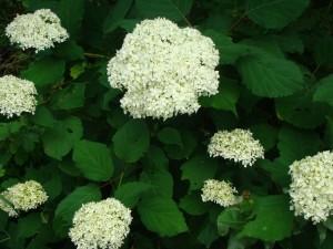 Kokveida hortenzija