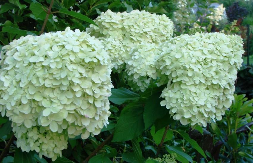 "Skarainā hortenzija`Limelight"", Hydrangea paniculata""Limelight"", Lepes"
