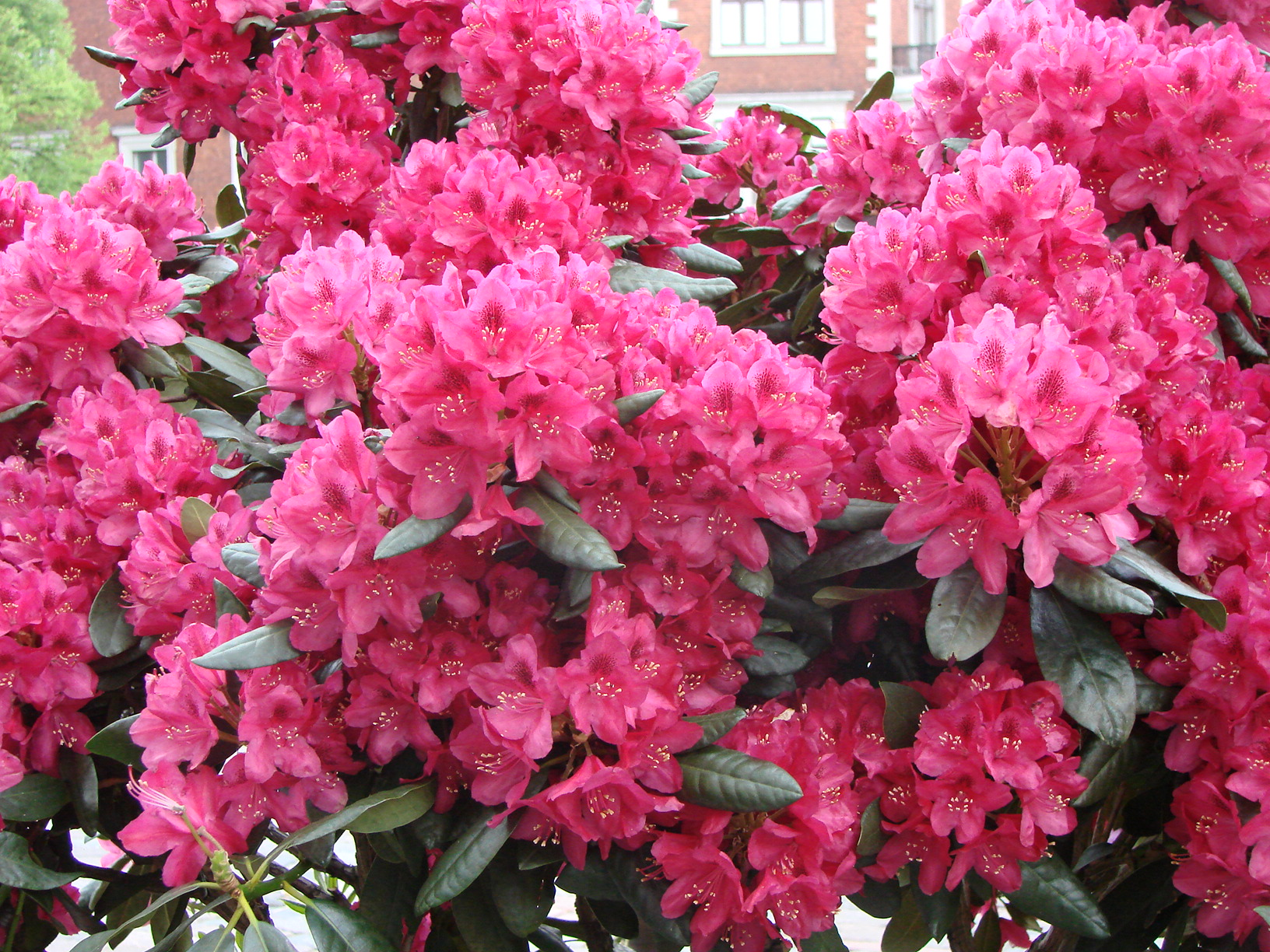 Rhododendron ``Nova Zembla``