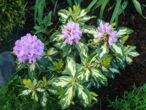 Rhododendron Goldflimmer, Lepes