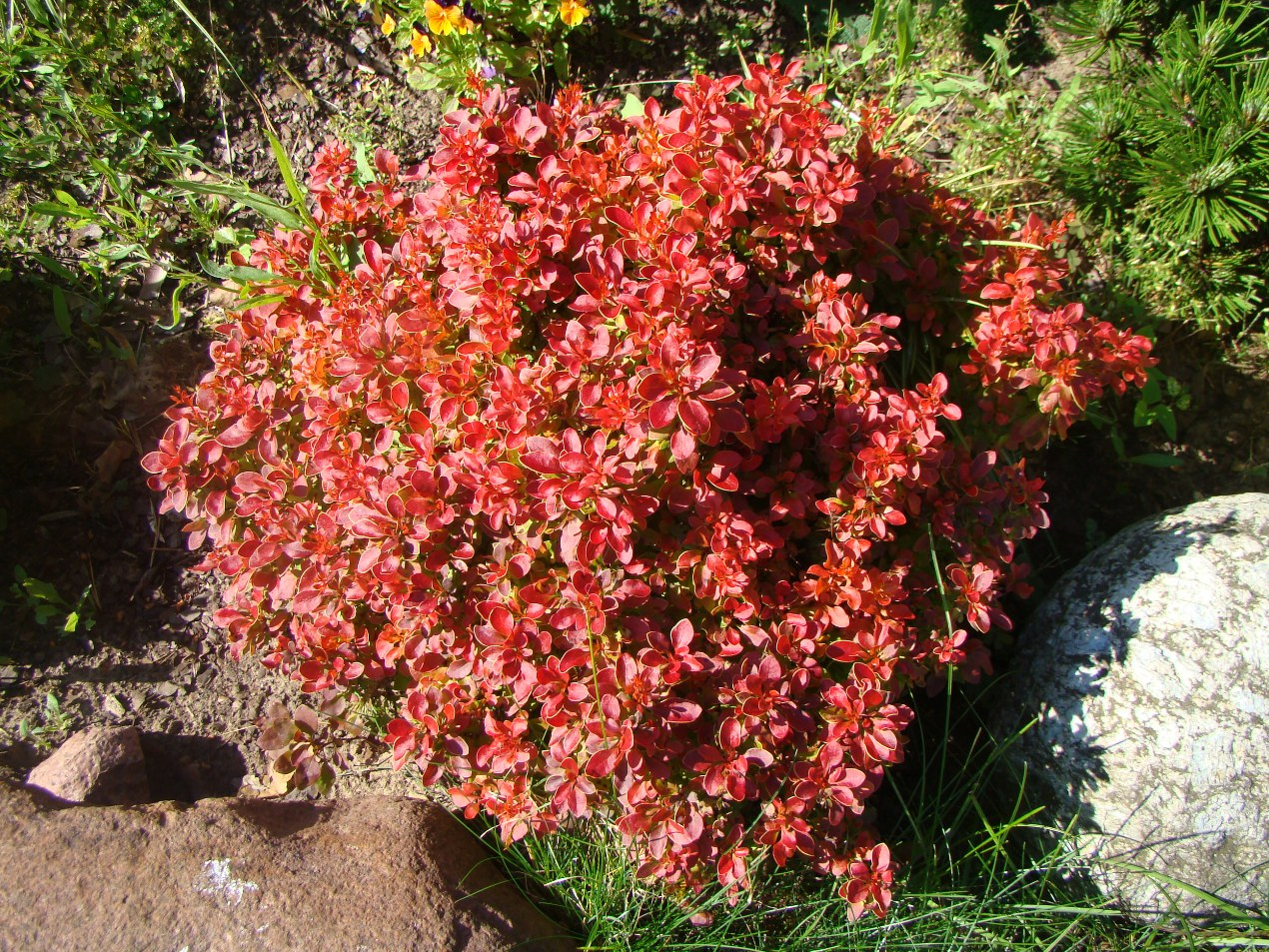 Berberis thunbergii `Admiration`