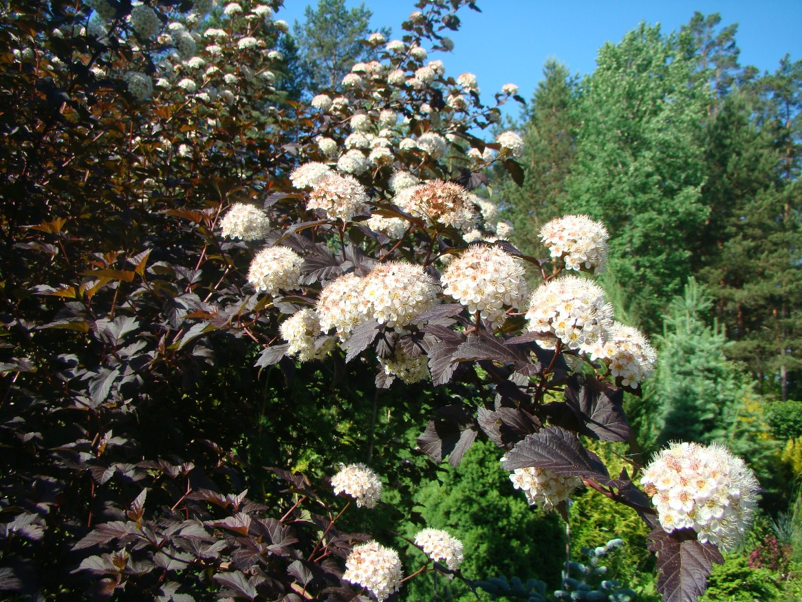 Physocarpus opulifolius  ``Diabolo``