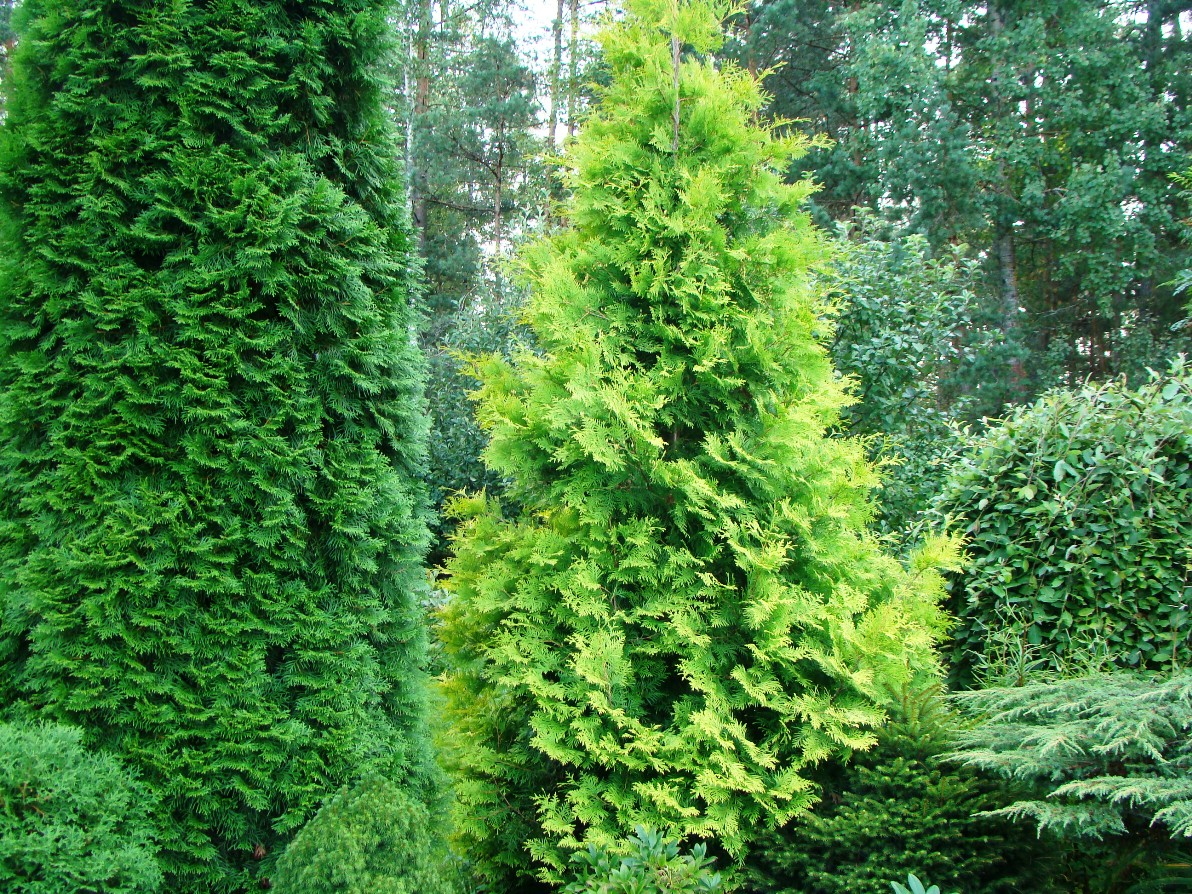 Thuja occidentalis ``Yellow Ribbon``