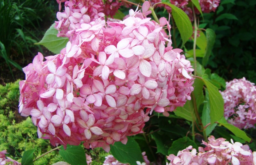 Hydrangea arborescens Pink Annabelle, Lepes