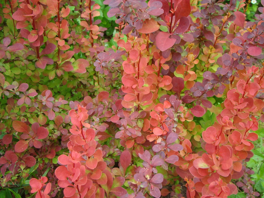Berberis thunbergii ``Orange Rocket``