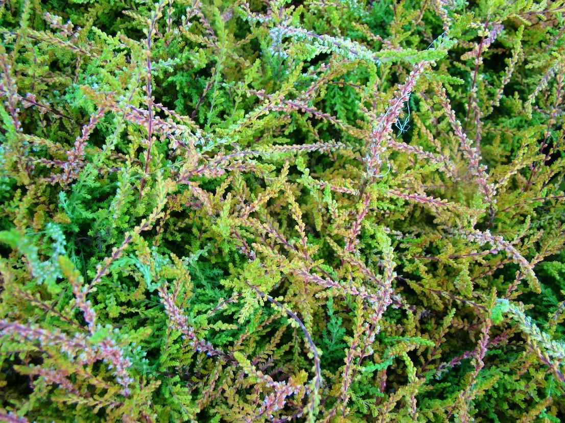 Calluna vulgaris ``Red Carpet``