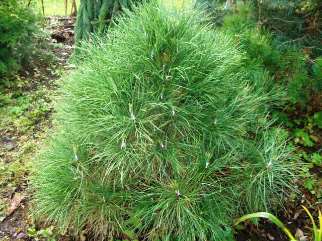 Pinus nigra `` Globosa``