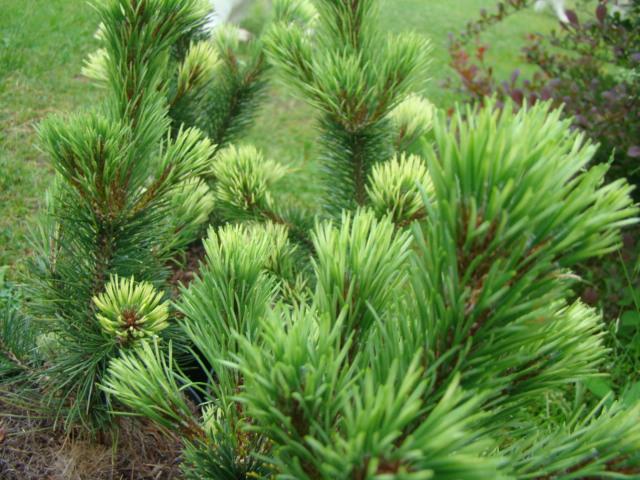 Pinus mugo `Pal Maleter`