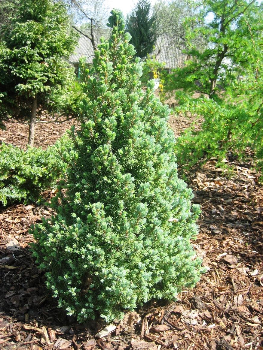 Picea glauca Sander s Blue