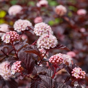 "Fizokarps ""Lady in Red"", Physocarpus ""Lady in Red"", Lepes"