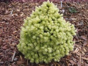 Picea glauca Dendrofarma Gold