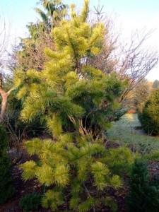 Pinus concorta Anna Aurea