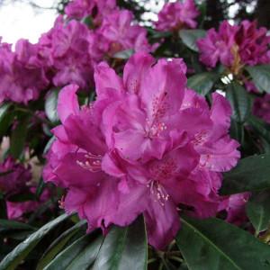 Rhododendron Boleslaw Chrobry