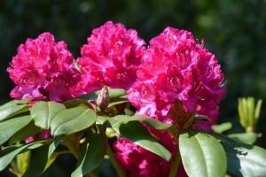 Rhododendron `Kazimierz Wielki`