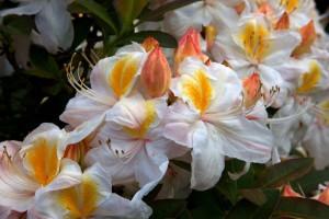 Rhododendron Silver Slipper