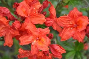 Rhododendron Feuerwerk