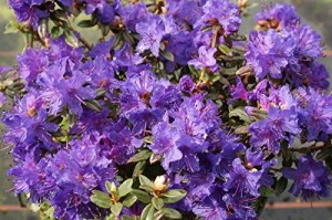 Rhododendron St. Merryn