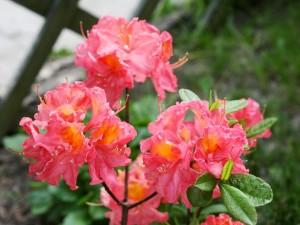 Rhododendron `Juanita`